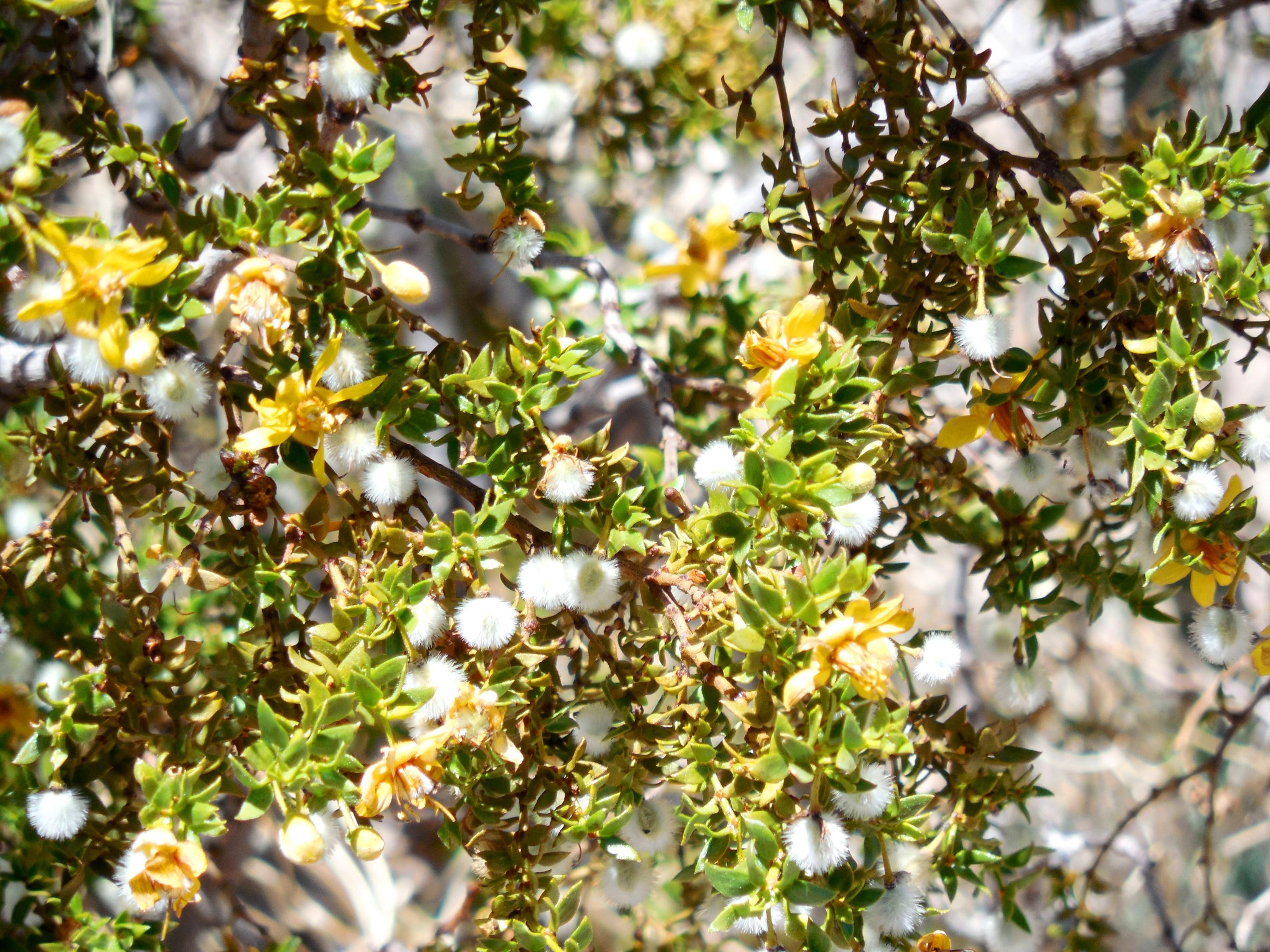 Death Valley National Park Flowers Susansflowers